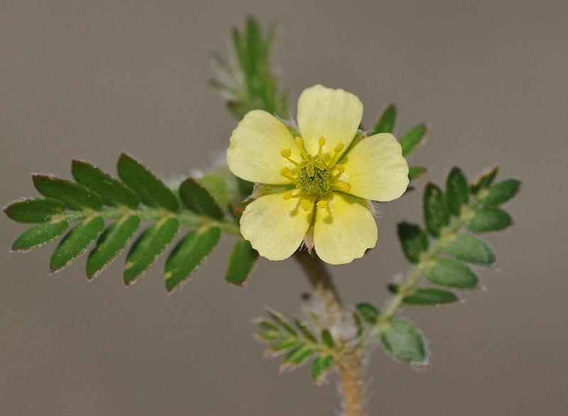 kotvicnik-kvet